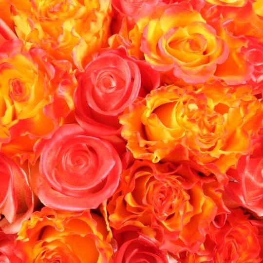 rosenstrau rosenzauber rosen online bestellen und. Black Bedroom Furniture Sets. Home Design Ideas