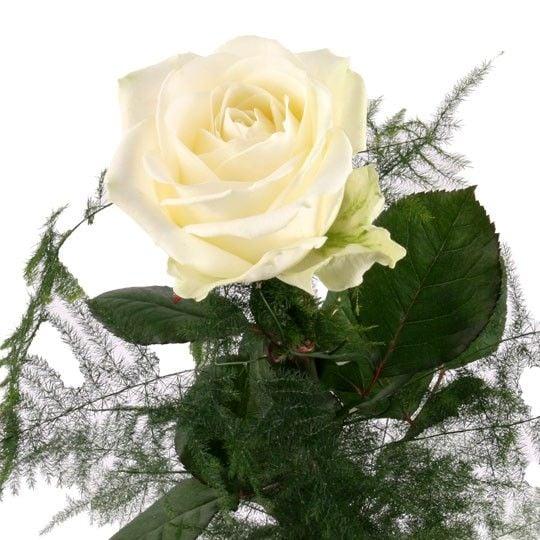 Weiße Rose - ein Symbol für reine Liebe und zärtliche