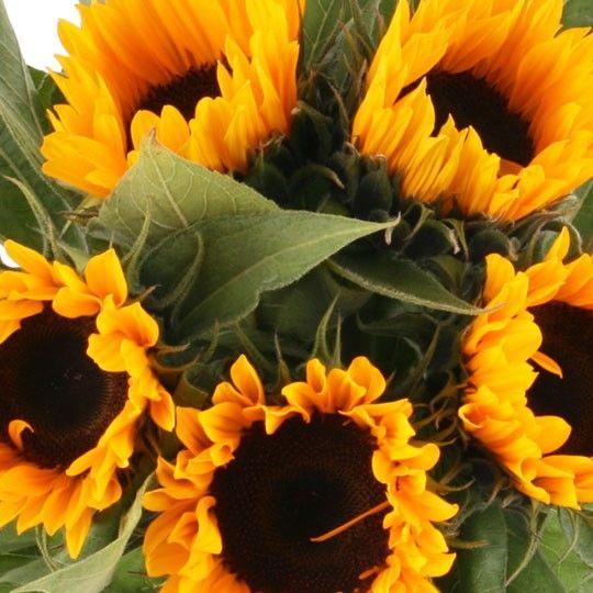 sonnenblumen im bund sonnenblumen online deutschlandweit bestellen und verschicken. Black Bedroom Furniture Sets. Home Design Ideas