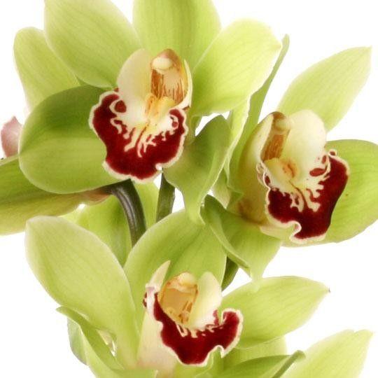 orchideen rispen cymbidien gro bl tig mit rabatt sie w hlen farbe anzahl blumen online. Black Bedroom Furniture Sets. Home Design Ideas