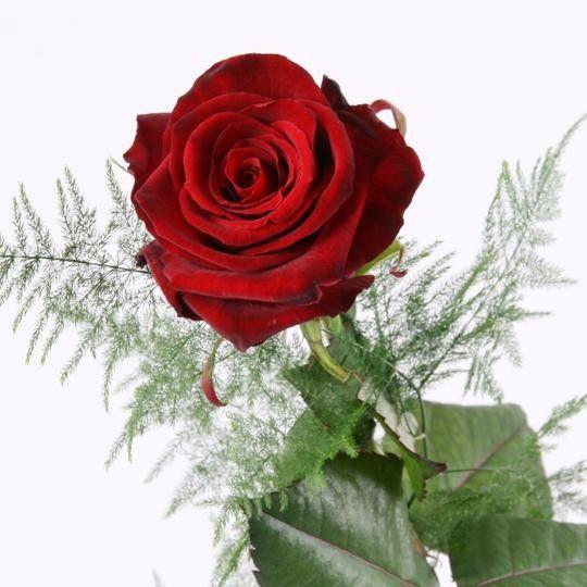 Rote Rose Das Symbol Fur Liebe Und Leidenschaft