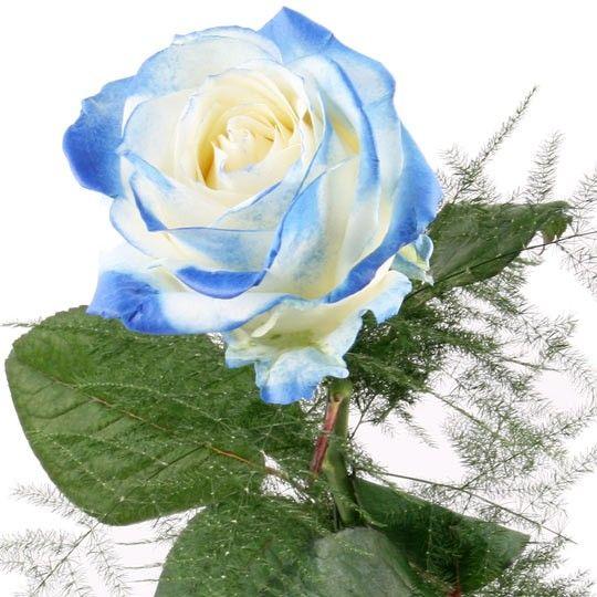 rose weiss blau blumen online deutschlandweit bestellen mit dem blumenversand. Black Bedroom Furniture Sets. Home Design Ideas