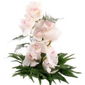 Eine dekorative ca. 60cm lange großblütige Orchidee (Cymbidie) online bestellen mit Blumenfee - dem Blumenversand.