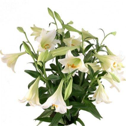 Günstig weiße Lilien im Bund – Blumen online deutschlandweit verschicken mit www.blumenfee.de - dem Blumenversand