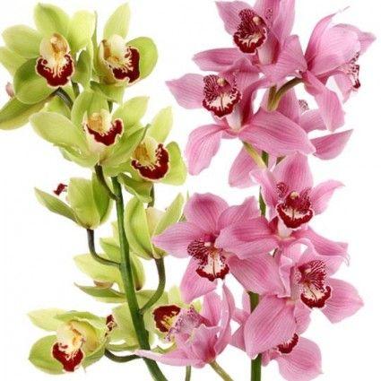 Orchideen-Rispen (Cymbidien) großblütig mit Rabatt - Sie wählen Farbe & Anzahl - Blumen online deutschlandweit verschicken  mit www.blumenfee.de - dem Blumenversand