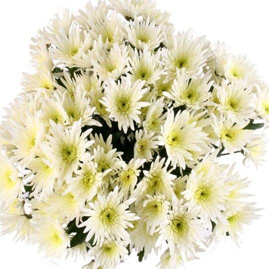 10 weiße Feder Chrsysanthemen